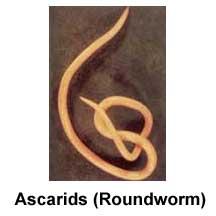 ascarids